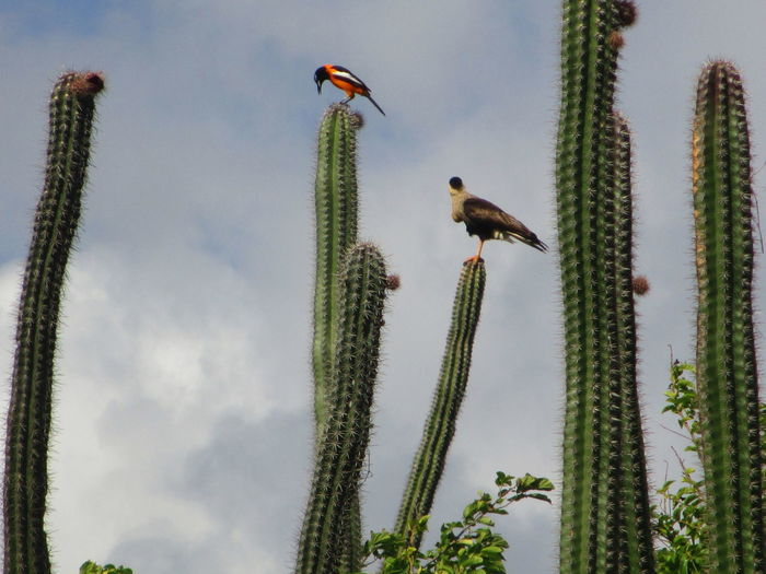 Low Angle View Of Birds Perching On Saguaro Cactus Against Sky