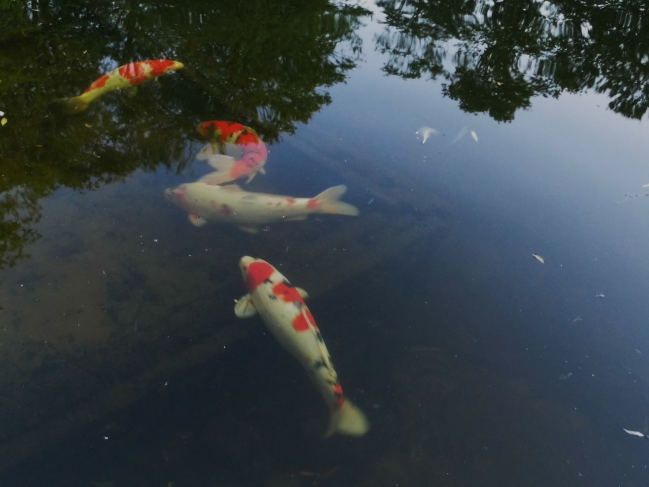 water, swimming, koi carp, fish, animal themes, carp, nature, high angle view, reflection, animals in the wild, no people, day, outdoors, sea life, close-up