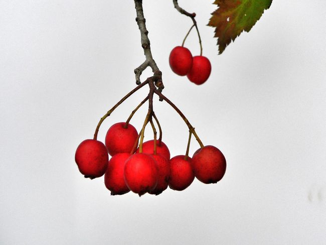Berries Berries Red Branch Nature Close-up Outdoors White Background