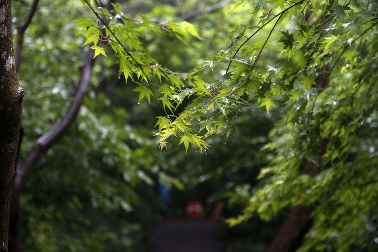 rainy day of Bijarim which is a famous forest in Jeju Island, South Korea Beauty In Nature Bijarim Branch Close-up Day Focus On Foreground Forest Freshness Green Color Growth JEJU ISLAND  Leaf Nature No People Outdoors Plant Rainy Day Tree