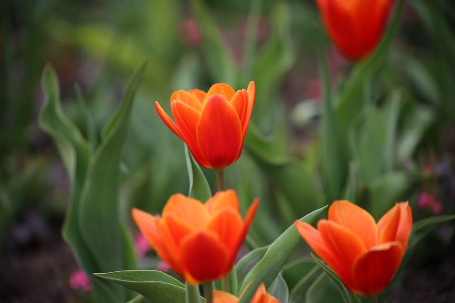 Delicate Flowers Tulipano Rosso Branch Flower Present Springtime Love Symbol Valentine's Day  Valentine's Day  Flower Bed Tulipa Kaufmanniana Beauty In Nature Nature Red Tulips Red Color Tulips Spa Zen Fragility Landscape Spring Flowers Spring Rote Tulpen Freshness Growth Tulips🌷
