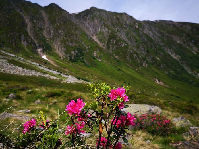 Pink flowering plants on land against mountains