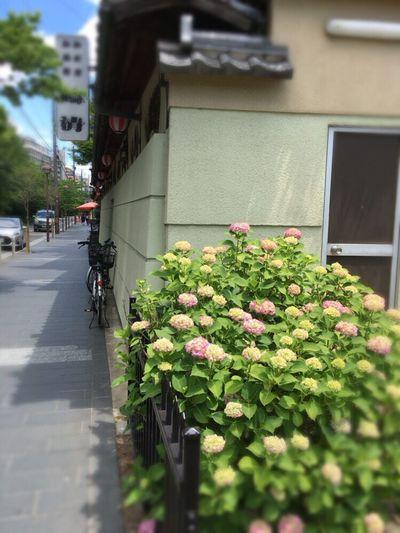 Hydrangea Macrophylla Kyoto,japan Kyoto Ryoutei