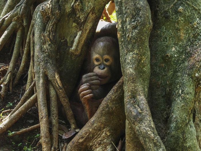 Orangutan by tree trunk in zoo
