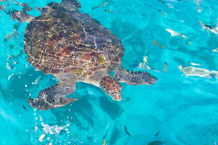 Hawksbill turtle in the water