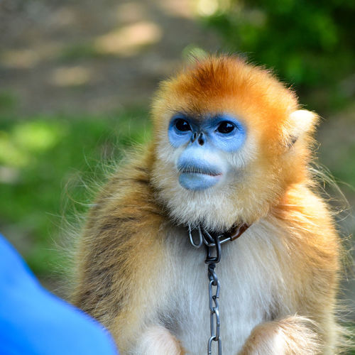 Animal Hair Animal Themes Animals In The Wild Beauty In Nature Close-up Day Focus On Foreground Golden Monkey Looking Looking At Camera Mammal Nature One Animal Outdoors Portrait Wildlife Zoo Zoology