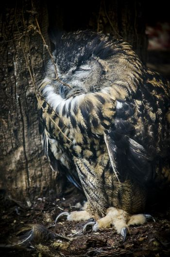 Animal One Animal Nature No People Outdoors Owl Owl Photography Owl Portrait.