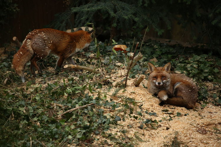 Pair of foxes London Wildlife Posing For The Camera Posing Looking At Camera Foxes Orange Fox 3XSPUnity Taking Photos Close-up Pair Of Animals Pair Nature Photography Animal Photography Animal Family Family Portrait Animal Themes Mammal Animals In The Wild Animal Wildlife Outdoors