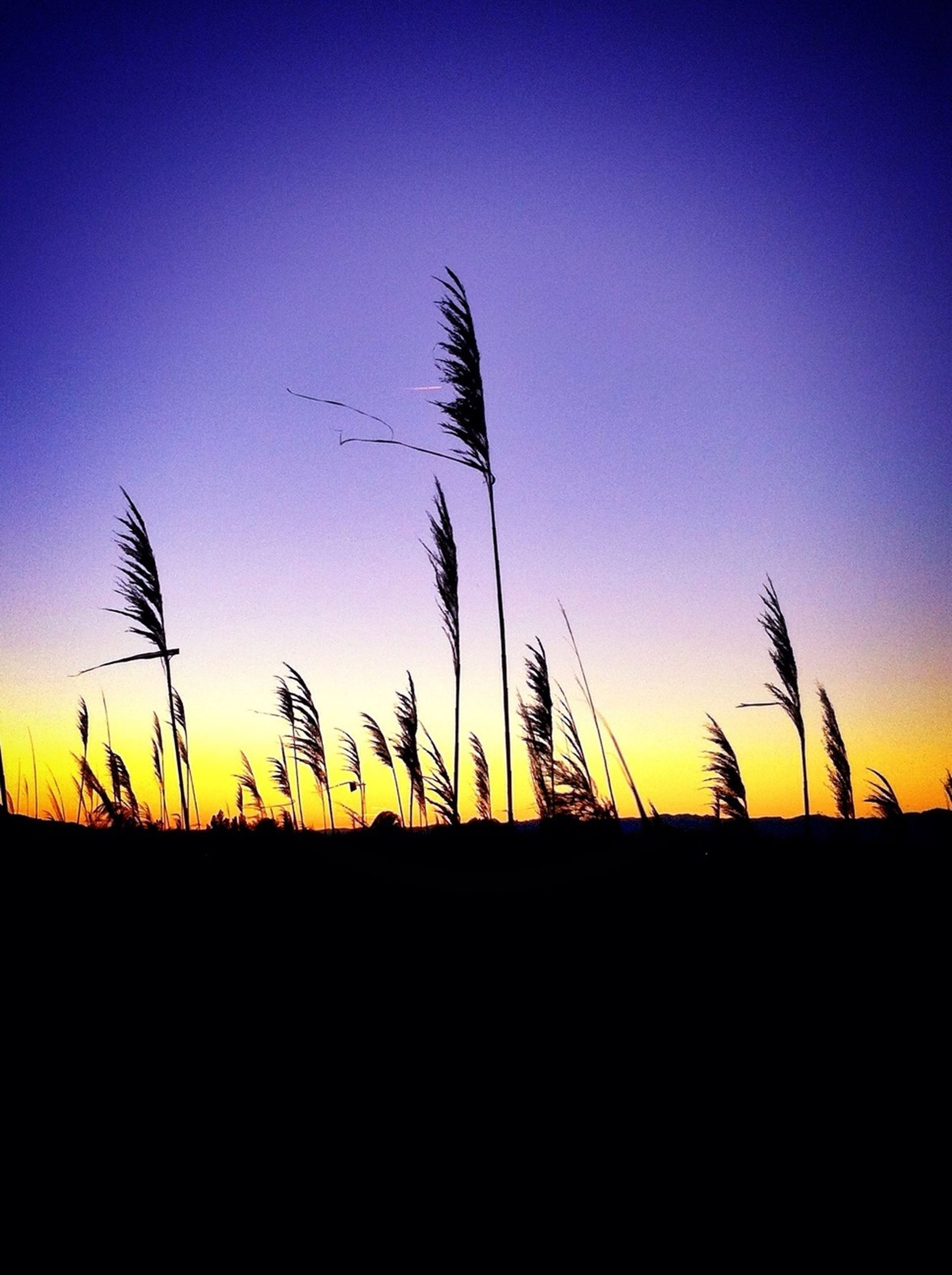 sunset, clear sky, silhouette, copy space, tranquility, tranquil scene, beauty in nature, nature, scenics, blue, field, plant, growth, landscape, idyllic, orange color, sky, outdoors, dusk, no people