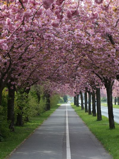 View of cherry blossom trees along road