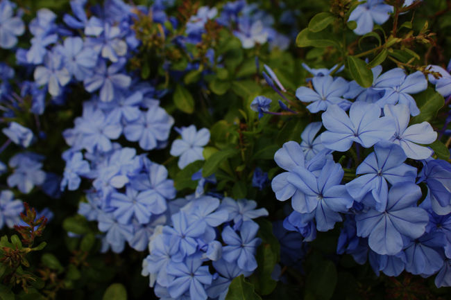 Beauty In Nature Blooming Blue Close-up Day Flower Flower Head Fragility Freshness Growth Nature No People Outdoors Petal Plant Purple