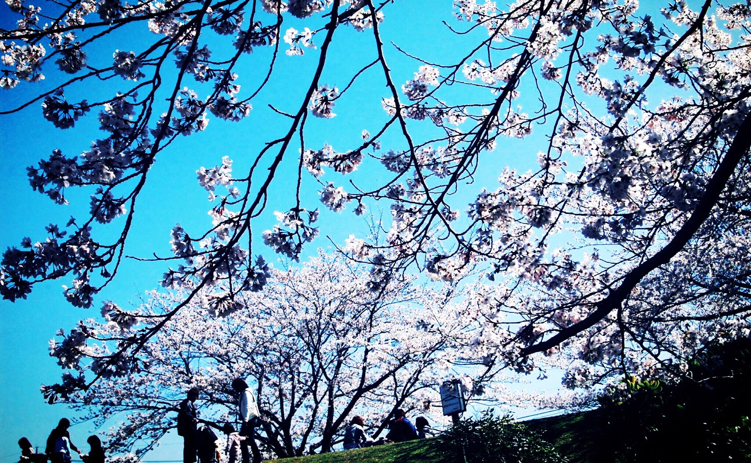 low angle view, tree, branch, growth, clear sky, flower, blue, freshness, nature, beauty in nature, sky, fragility, sunlight, day, outdoors, blossom, no people, blooming, leaf, twig