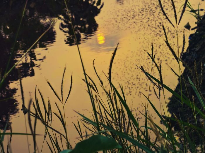 Reflection of plants in water at sunset