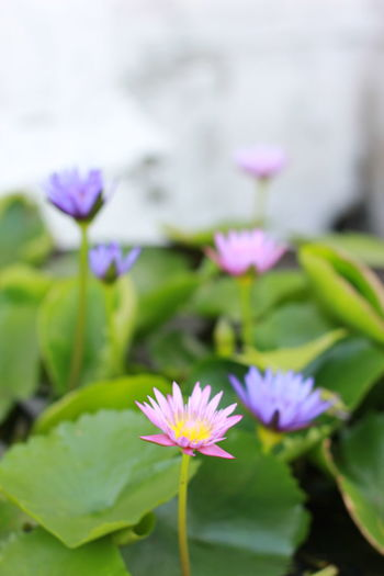 Close-up of purple water lily in pond
