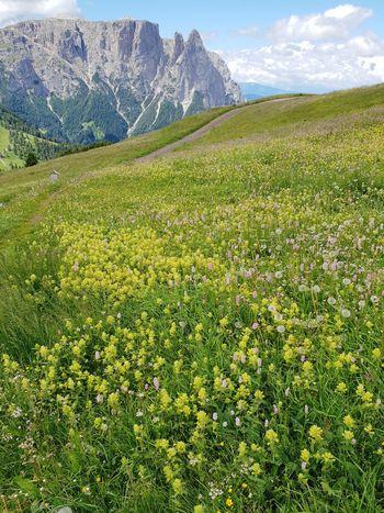 Alpine meadow - Rhinanthus angustifolius Mountain Grass Landscape