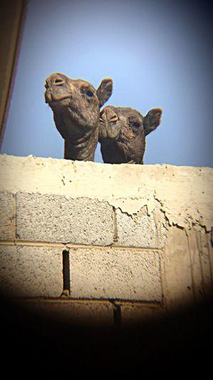 Camels love Arabic Camel Arab Camels Mammal Animal Animal Themes Vignette No People Animal Representation Domestic Animals First Eyeem Photo EyeEmNewHere