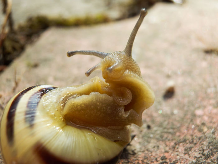 Curious snail Tentacles Tentacle Snails Curiosity Curious Macro Macro Snail Shell Macro Shell Snail Shell Snail Shell Close Up Mollusk Gastropod On The Back Back Animal Themes Animals In The Wild Animal Wildlife Animal Mollusk Curious Snail Curious Animals Curious Animal Curious Creature Snail Portrait Close-up Animal Shell Slug Slimy