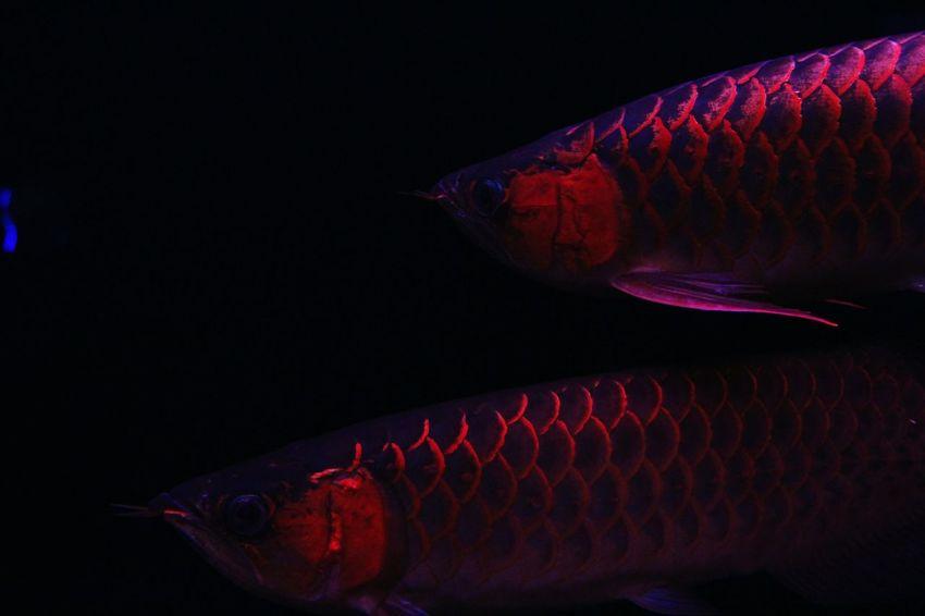 EyeEmNewHere Red Black Background Indoors  Close-up No People Underwater Arowana Fish Aquarium Animal Themes