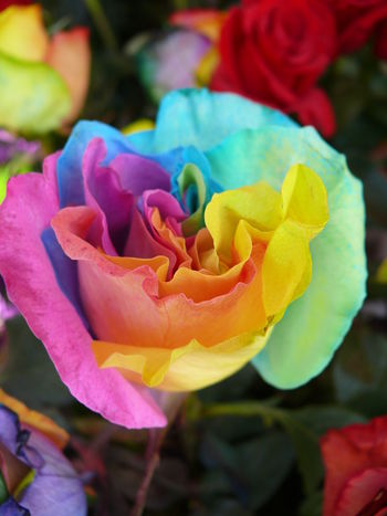 Flowers Flower Collection Roses Rainbow Rainbow Rose Rainbow Roses Multicolors  Multicoloured Multicoloured Flower Rainbow Colors Flower Close Up Close Up Close Up Nature Nature's Diversities The Essence Of Summer The Great Outdoors - 2016 EyeEm Awards