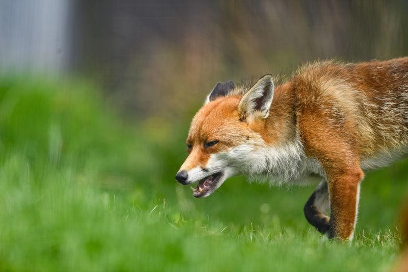 Fox walking on grassy field