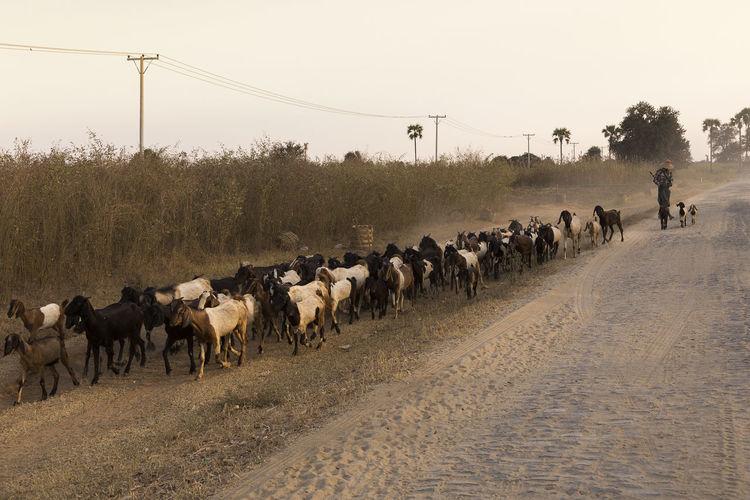Flock of goats walking on road