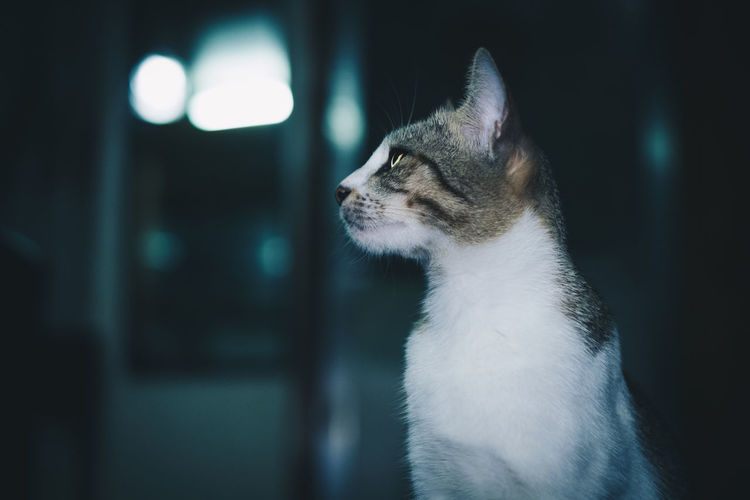 cat Pets Domestic Animal Themes One Animal Domestic Animals Animal Mammal Cat Feline Domestic Cat Vertebrate Looking Looking Away Close-up No People Focus On Foreground Indoors  Whisker Animal Body Part Side View Animal Head  Profile View Animal Eye Backgrounds Copy Space Streetwise Photography