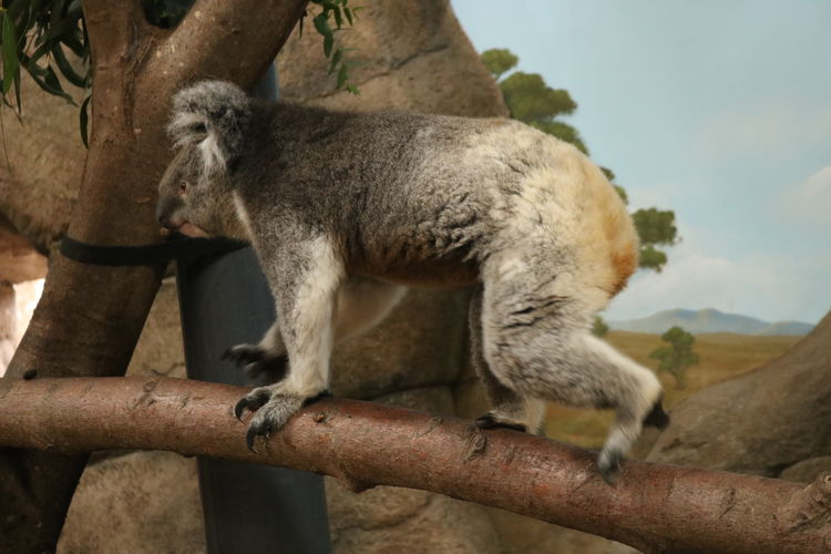 Side view of koala