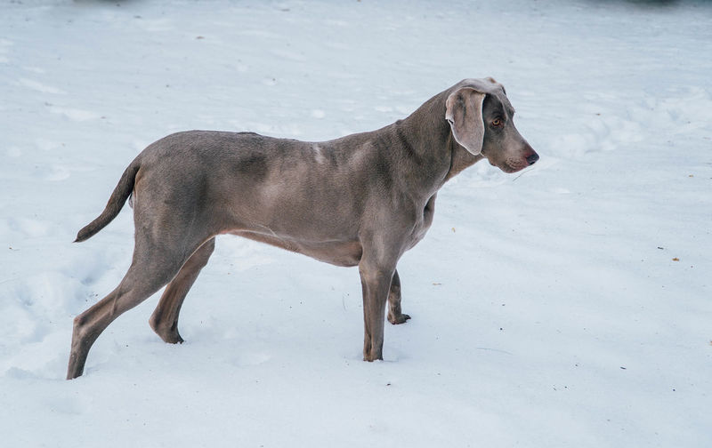 Animal Themes Day Dog Full Length Mammal Nature No People One Animal Outdoors Pets Snow Weimaraner