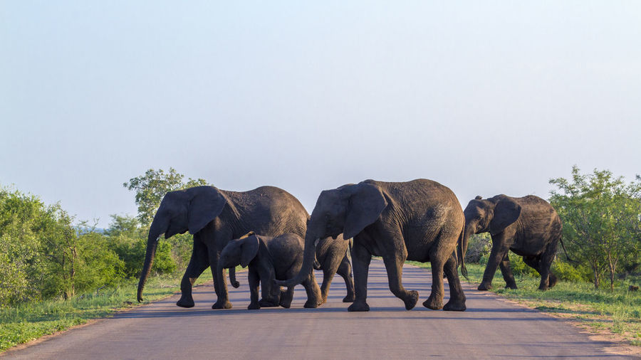 Elephants walking with calf on road at national park