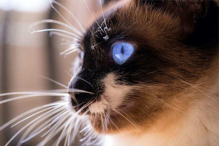 Blue Eyed Cat Intense Kitty Cats Cats Of EyeEm Whiskers Softness Soft Hues Contented Life Contented Cat Headshot Photography Closeupshot Blue Eyes 💙 Siamese Cat Kitty Closeup