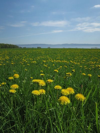 Dandelion Landscape Outdoors Flower Flower Head Yellow Field Agriculture Sky Grass Close-up Plant Green Color