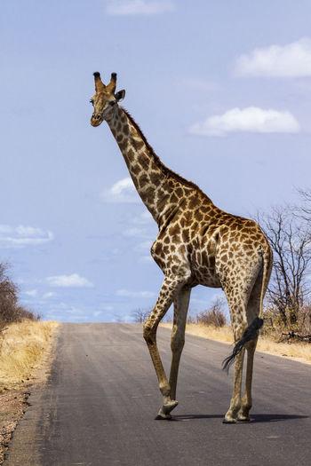 Giraffe on road against sky