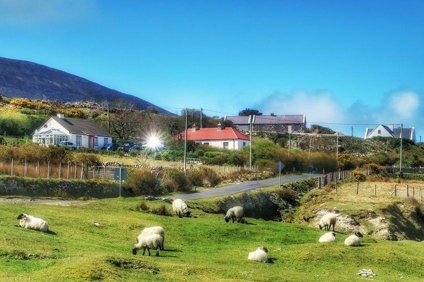 Sheep grazing at Dugort - Achill Island, Ireland - 24 April 2016 Sheep Sheep Meadow Farm Life Wildatlanticway Blue Sky Mayo Ireland Mayo Achill Island Achill WestCoast Ireland April 2016 April2016 Irish Coast County Mayo