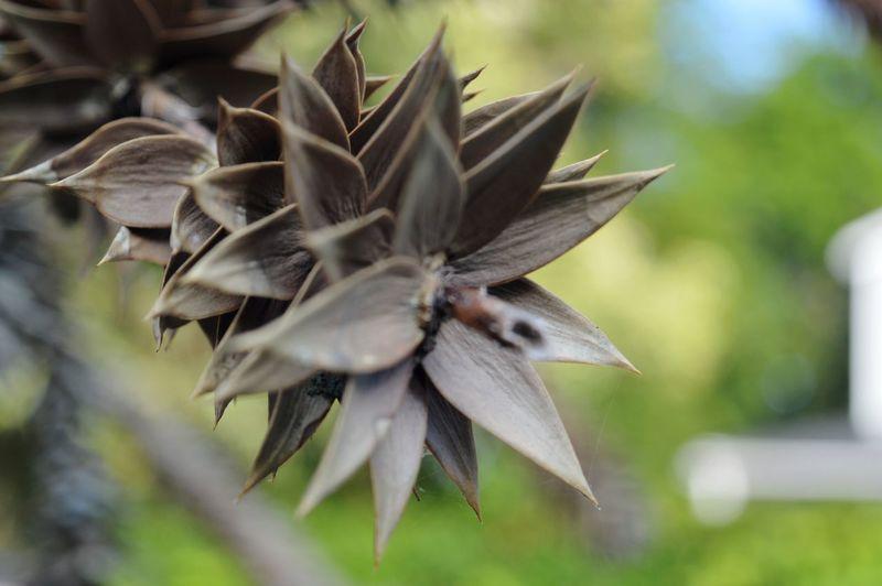 Strange tree. Pine Tree Nature Outdoors Macro Macro Photography Nikon Photography Nikon D3200 Flower Flower Head Close-up Plant