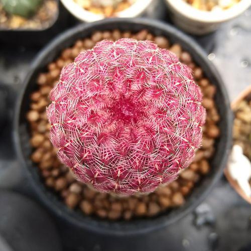 rainbows🌈 แคคตัส ขายแคคตัส ขายกระบองเพชร ไม้อวบน้ำ ไม้กราฟ กระบองเพชร Cacto Cactusthailand Cactus Cactuslover Cactusclub#cacti Cactuslove Cactusmagazine#succulent Salecactus#succulentthailand#welovecactus Succulents Succulove Cactusplanet Cacto#แมม Cactishop Cactilove Cactus Garden Cactus Flower Cactus Collection TonAosr Cactus Cacti High Angle View Close-up Sweet Food
