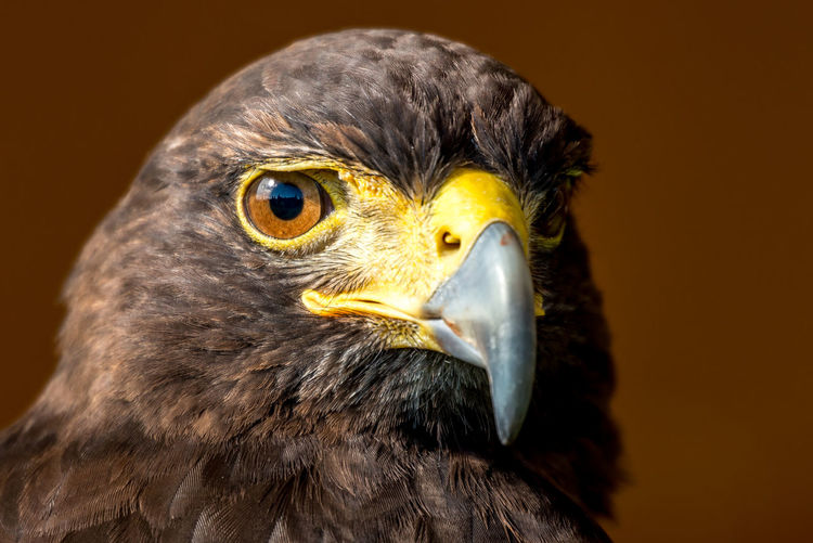 Close-up of red-tailed hawk over brown background