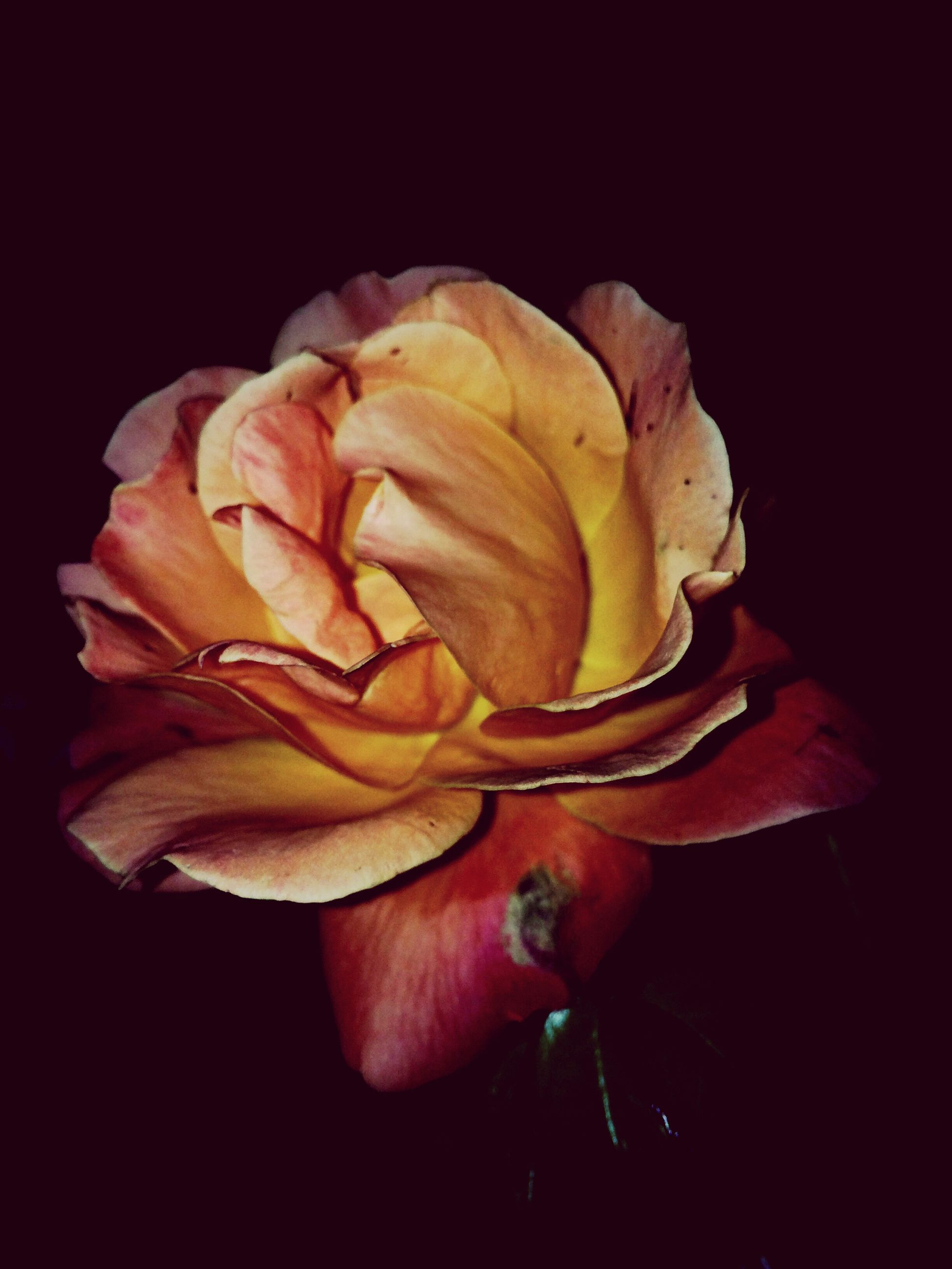 flower, freshness, petal, fragility, flower head, close-up, black background, rose - flower, beauty in nature, single flower, studio shot, nature, yellow, springtime, blossom, rose, botany, softness, in bloom, vibrant color