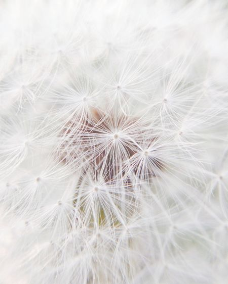 Close-Up Of Dandelion On White Flowering Plant