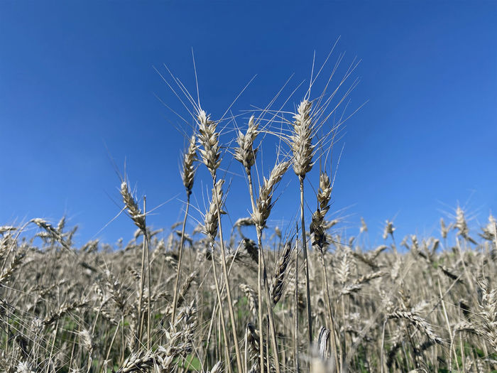 Close-up of wheat growing on field against blue sky