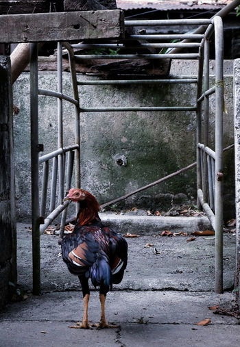 Day 15 of 365 📷 365project EyeEm Gallery EyeEmNewHere Fujifilm_xseries One Animal Domestic Animals Chicken - Bird Livestock Rooster Animal Animal Themes Bird No People Outdoors