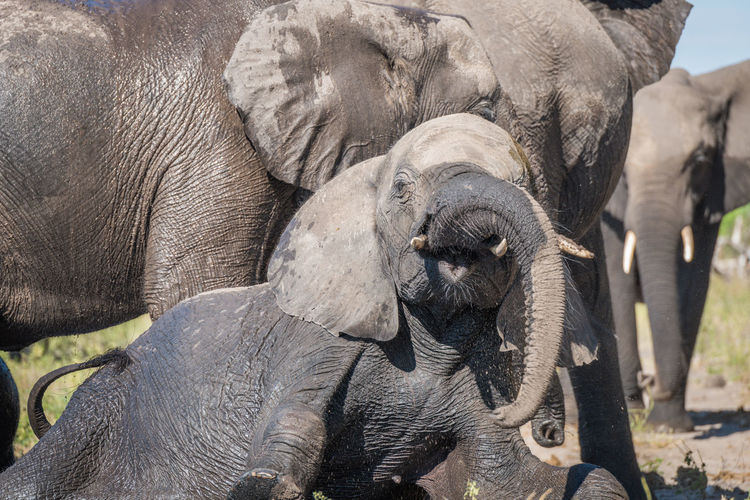 African elephants family in forest