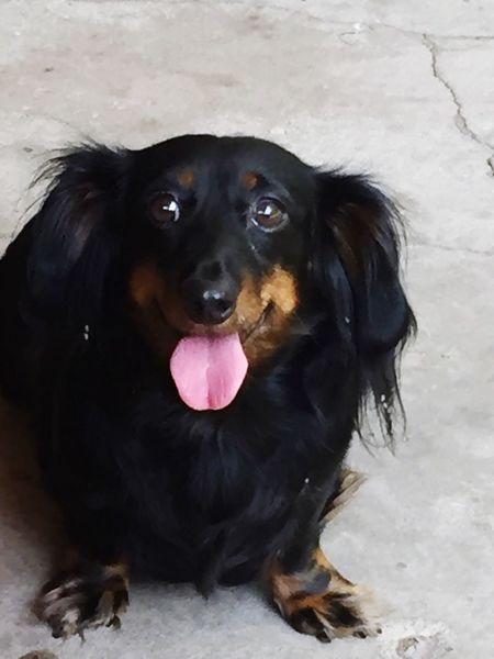 Dog Black Color Sticking Out Tongue Weens Weiner-Dog Longhairweiner
