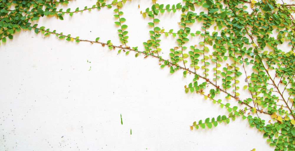 Plant Growth Nature Green Color No People Leaf Day Plant Part Close-up White Color Ivy Beauty In Nature Tree Freshness Outdoors Branch Wall - Building Feature Winter Creeper Plant Vine