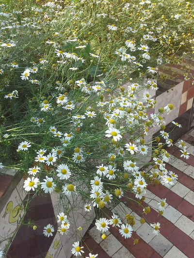 Chamomile Field 🌼🌼🌼🌼🌼 Camomile Nature_collection Nature Photography Flower Collection Flower Photography Flovers🌺beautiful Love 💕 Flowers, Nature And Beauty EyeEm Best Shots - Nature Flowers For My Friends Naturally Me People Summer ☀