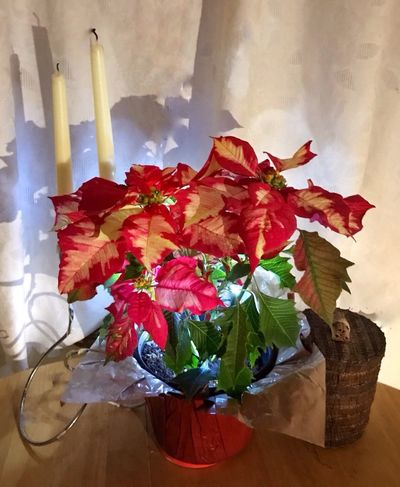 Poinsettia Flower HolidayDecorations Indoors  Beauty In Nature No People Potted Plant