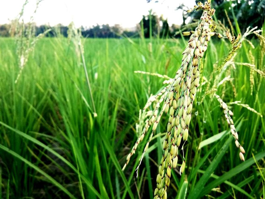 Green Color Agriculture Grass Nature Cereal Plant Growth Farm Field Crop  Rural Scene Outdoors No People Wheat Focus On Foreground Close-up Plant Landscape Day Rice Paddy Beauty In Nature