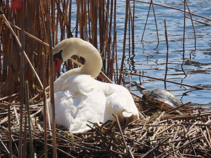 Mute swan nesting birdwatching closeup dried reeds turtle water beauty in nature outdoors animal themes birds of EyeEm Nature No People