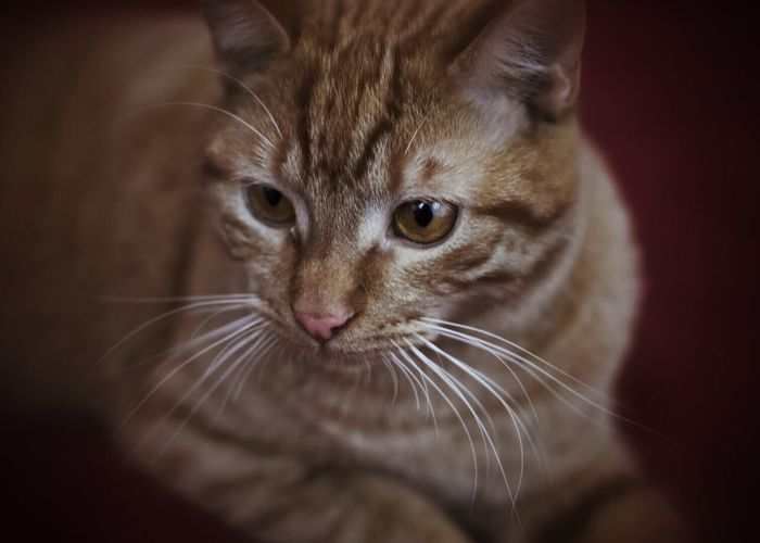 Domestic Cat One Animal Pets Domestic Animals Mammal Feline Animal Themes Whisker Close-up Cat Indoors  No People Day Cats Of EyeEm Pets Corner Pet Photography  Indoors  Studio Shot Whiskers Nose