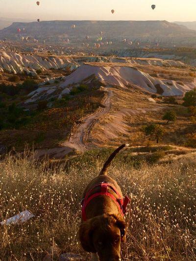 Dog On Field Against Hot Air Balloons Over Cappadocia