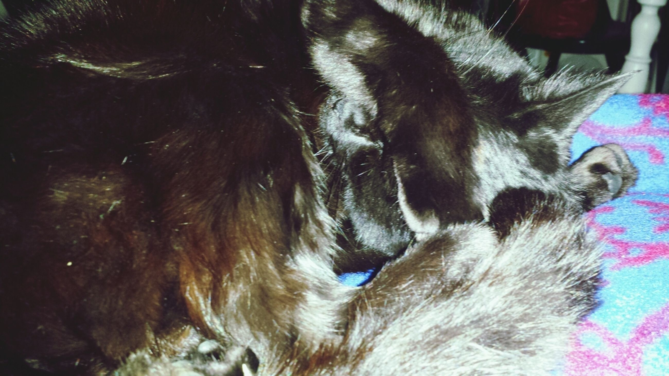 domestic animals, animal themes, mammal, one animal, pets, indoors, animal head, dog, animal body part, close-up, domestic cat, feline, cat, relaxation, whisker, animal hair, lying down, sleeping, resting, no people